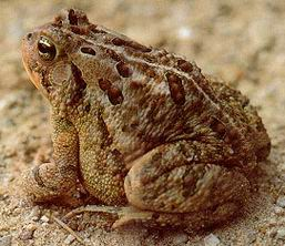 Bufo woodhousei fowleri
