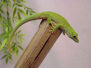 Giant Day Geckos Phelsuma madagascariensis grandis