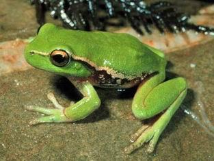 Green Treefrog Hyla cinerea