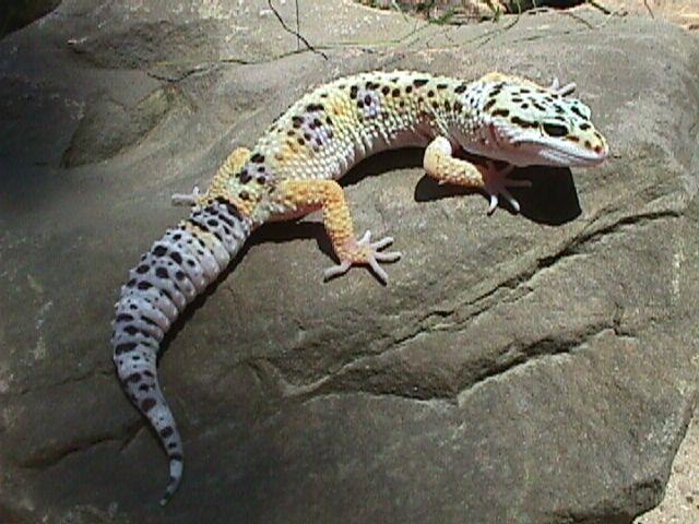 Leopard Geckos (Eublepharis macularius)
