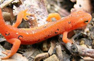Red Eft Eastern Newt